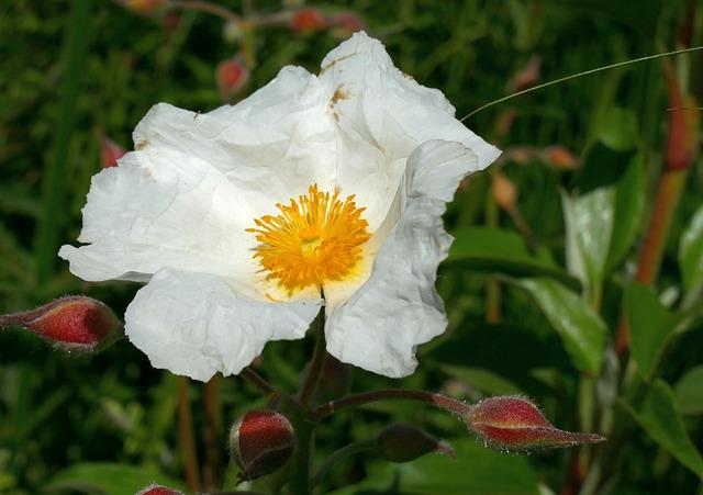 weisse zistrose blüte - Welches sind die Heilwirkungen von Cistus Incanus?